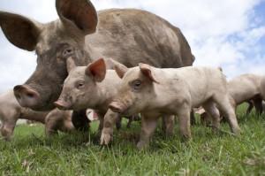 Actual pigs